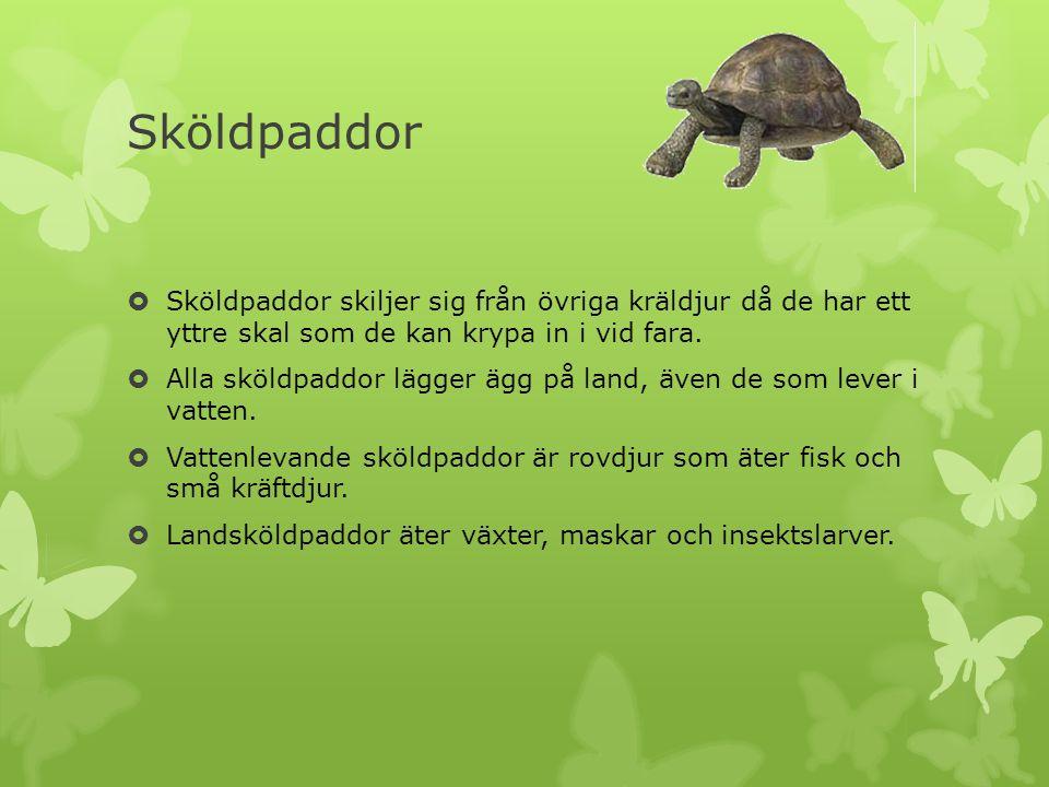 Sköldpaddor  Sköldpaddor skiljer sig från övriga kräldjur då de har ett yttre skal som de kan krypa in i vid fara.  Alla sköldpaddor lägger ägg på l