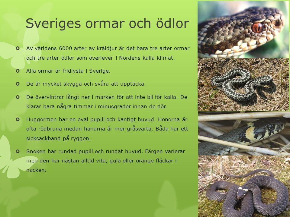 Sveriges ormar och ödlor  Av världens 6000 arter av kräldjur är det bara tre arter ormar och tre arter ödlor som överlever i Nordens kalla klimat. 