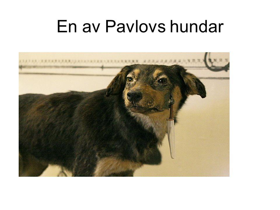 En av Pavlovs hundar
