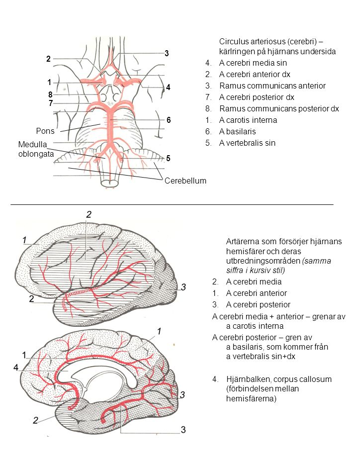 Artärerna som försörjer hjärnans hemisfärer och deras utbredningsområden (samma siffra i kursiv stil) 2.A cerebri media 1.A cerebri anterior 3.A cereb