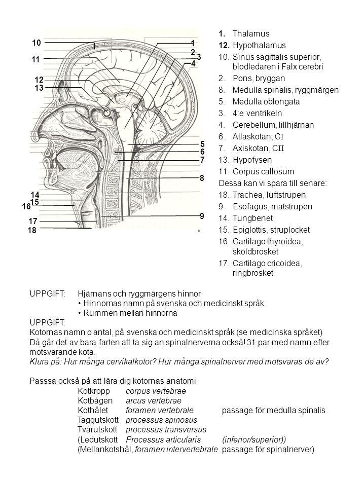 1.Thalamus 12.Hypothalamus 10.Sinus sagittalis superior, blodledaren i Falx cerebri 2.Pons, bryggan 8.Medulla spinalis, ryggmärgen 5.Medulla oblongata