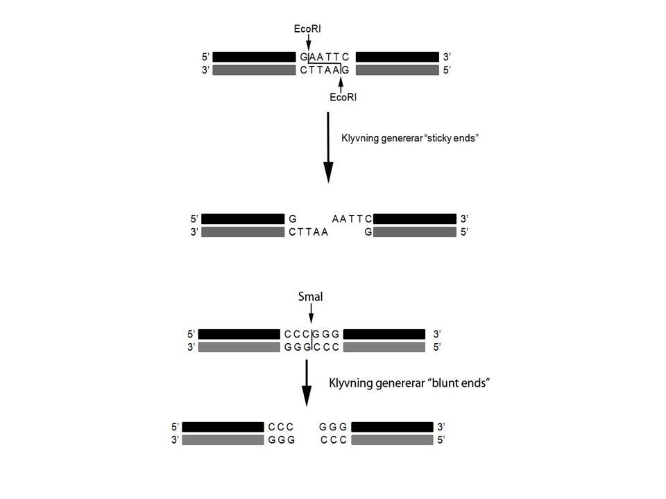 Enzymer Fosfatas:tar bort fosfatgrupper; en vektor som klyvts och fått bluntends kan återligera med sig själv och för att förhindra detta kan man tillsätta fosfatas (CIP, calf intenstine phosphatase) som tar bort fosfatgruppen i 5'.