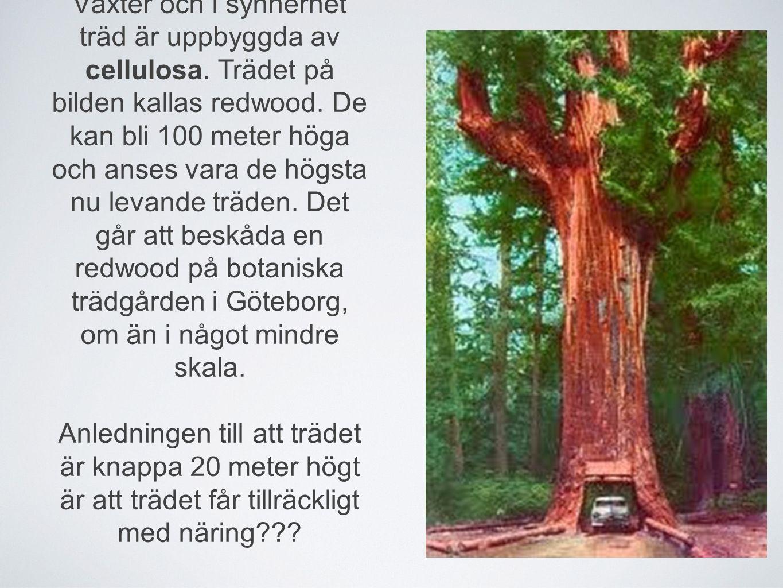 Växter och i synnerhet träd är uppbyggda av cellulosa. Trädet på bilden kallas redwood. De kan bli 100 meter höga och anses vara de högsta nu levande