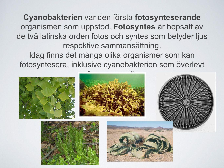 Cyanobakterien var den första fotosynteserande organismen som uppstod. Fotosyntes är hopsatt av de två latinska orden fotos och syntes som betyder lju