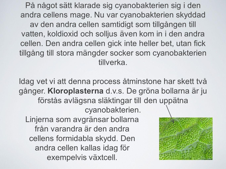 På något sätt klarade sig cyanobakterien sig i den andra cellens mage. Nu var cyanobakterien skyddad av den andra cellen samtidigt som tillgången till