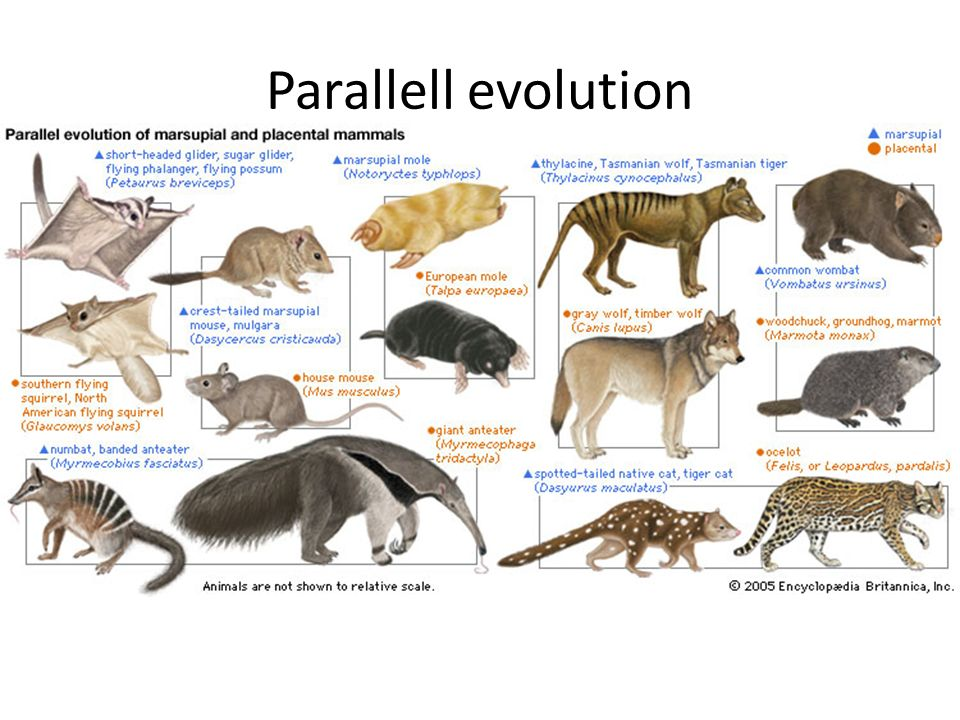 Parallell evolution