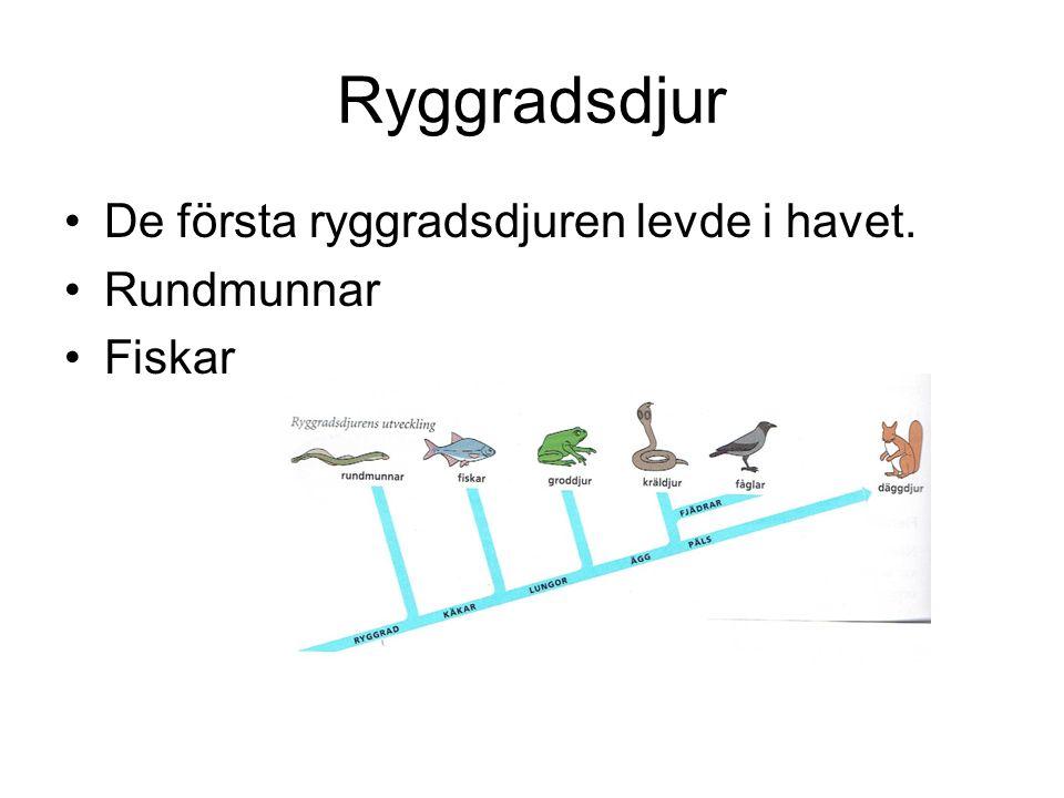 Ryggradsdjur De första ryggradsdjuren levde i havet. Rundmunnar Fiskar