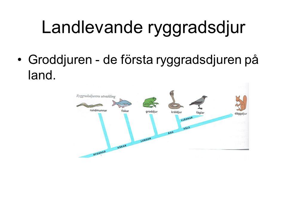 Landlevande ryggradsdjur Groddjuren - de första ryggradsdjuren på land.