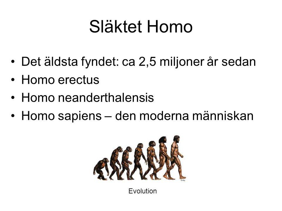 Släktet Homo Det äldsta fyndet: ca 2,5 miljoner år sedan Homo erectus Homo neanderthalensis Homo sapiens – den moderna människan Evolution