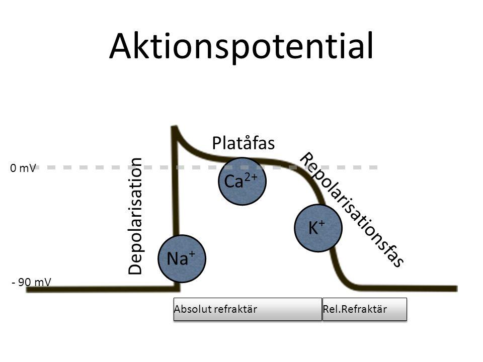 Aktionspotential Depolarisation Platåfas Repolarisationsfas Na + Ca 2+ K+K+ 0 mV - 90 mV Absolut refraktär Rel.Refraktär