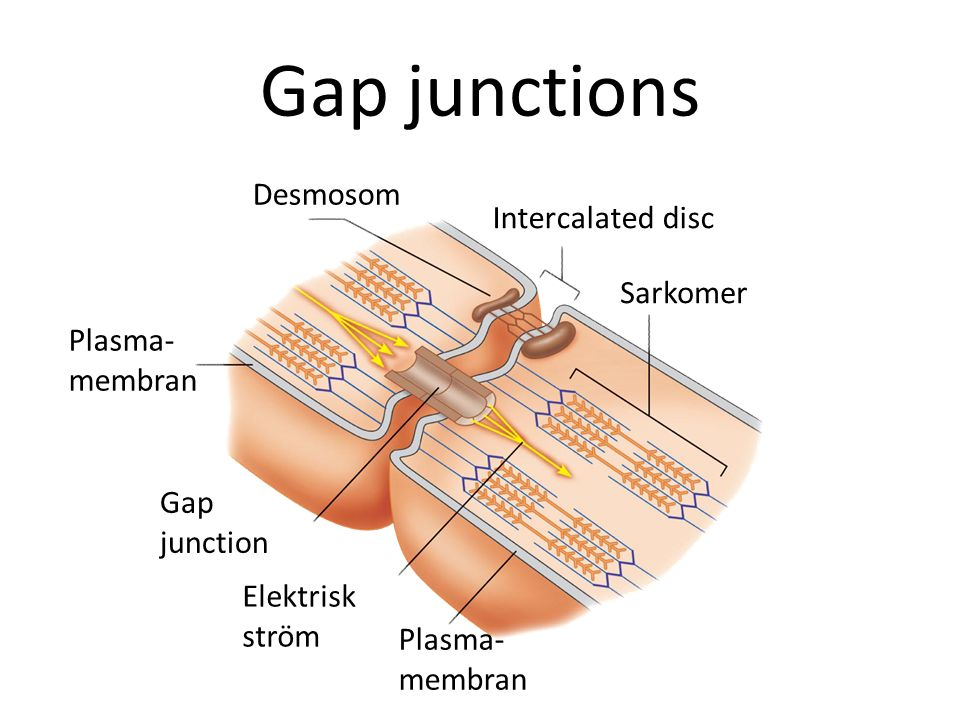 Gap junctions Desmosom Gap junction Plasma- membran Elektrisk ström Plasma- membran Sarkomer Intercalated disc