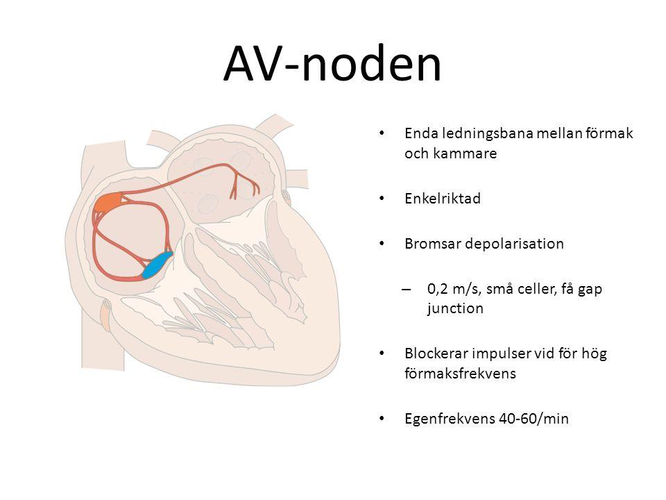 AV-noden Enda ledningsbana mellan förmak och kammare Enkelriktad Bromsar depolarisation –0–0,2 m/s, små celler, få gap junction Blockerar impulser vid