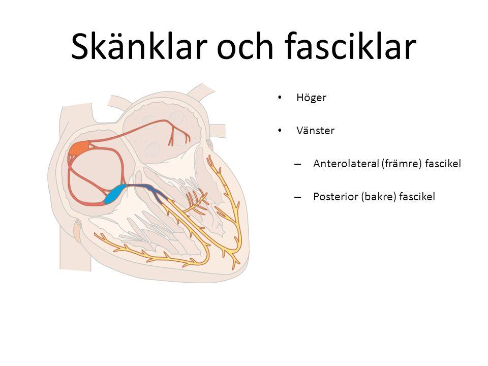 Skänklar och fasciklar Höger Vänster –A–Anterolateral (främre) fascikel –P–Posterior (bakre) fascikel