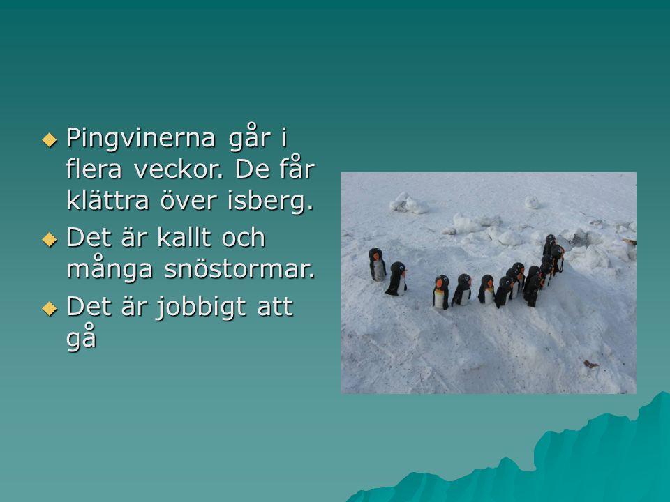  Pingvinerna går i flera veckor. De får klättra över isberg.
