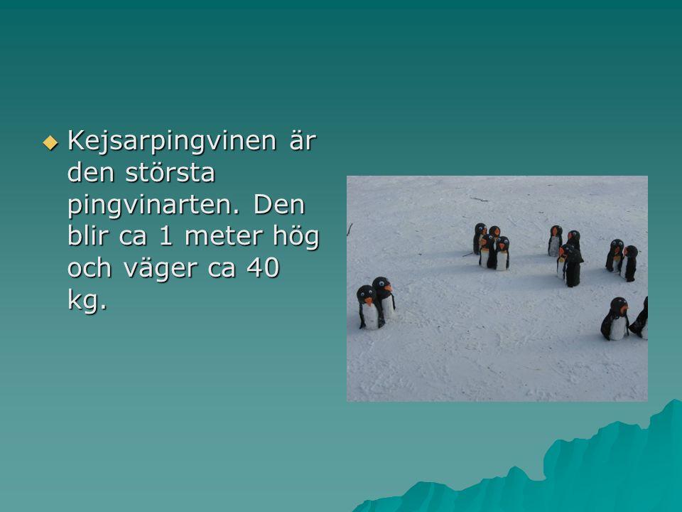  Kejsarpingvinen är den största pingvinarten. Den blir ca 1 meter hög och väger ca 40 kg.