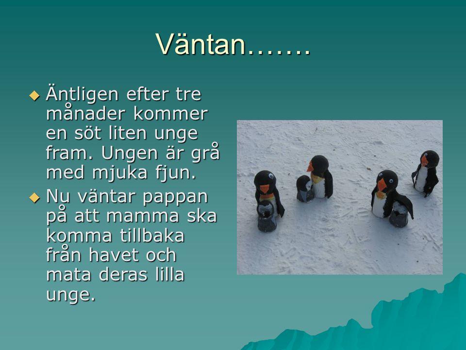 Ungar, ungar, ungar…….. Äntligen kom mamma pingvin tillbaka.