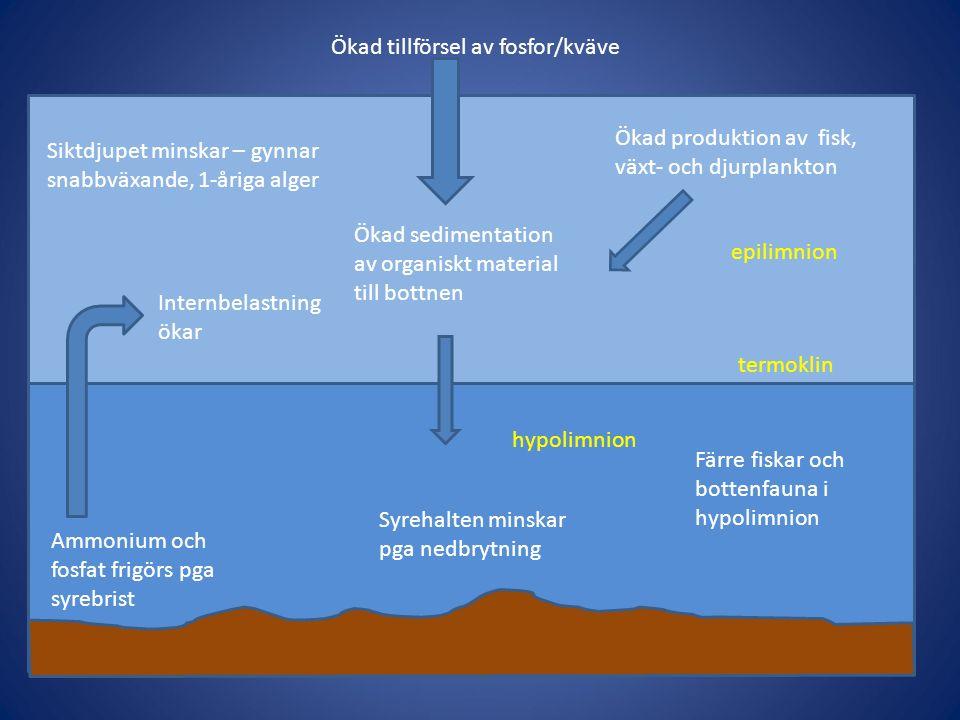 Ökad tillförsel av fosfor/kväve Ökad produktion av fisk, växt- och djurplankton Ökad sedimentation av organiskt material till bottnen hypolimnion epilimnion termoklin Siktdjupet minskar – gynnar snabbväxande, 1-åriga alger Syrehalten minskar pga nedbrytning Färre fiskar och bottenfauna i hypolimnion Ammonium och fosfat frigörs pga syrebrist Internbelastning ökar