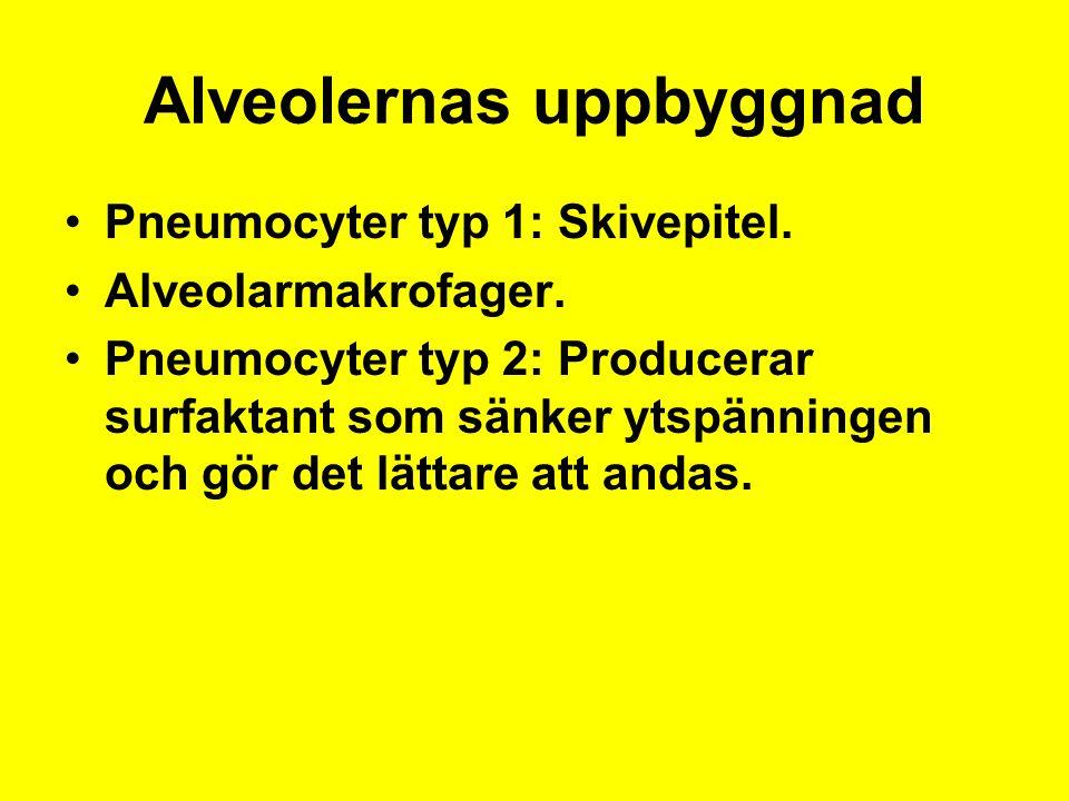 Alveolernas uppbyggnad Pneumocyter typ 1: Skivepitel.
