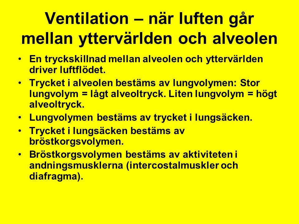 Ventilation – när luften går mellan yttervärlden och alveolen En tryckskillnad mellan alveolen och yttervärlden driver luftflödet.