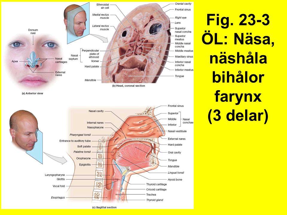 Fig. 23-3 ÖL: Näsa, näshåla bihålor farynx (3 delar)