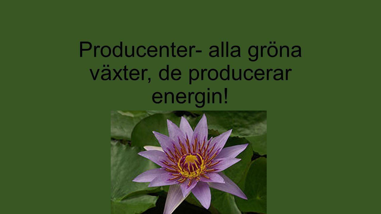 Producenter- alla gröna växter, de producerar energin!