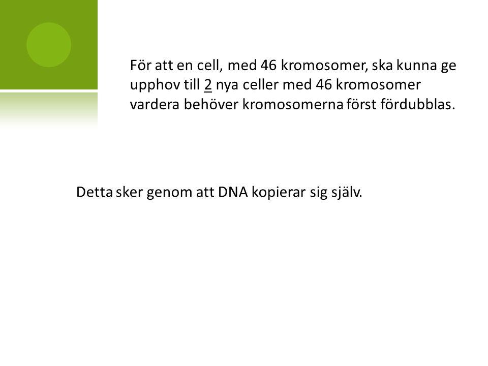 För att en cell, med 46 kromosomer, ska kunna ge upphov till 2 nya celler med 46 kromosomer vardera behöver kromosomerna först fördubblas.