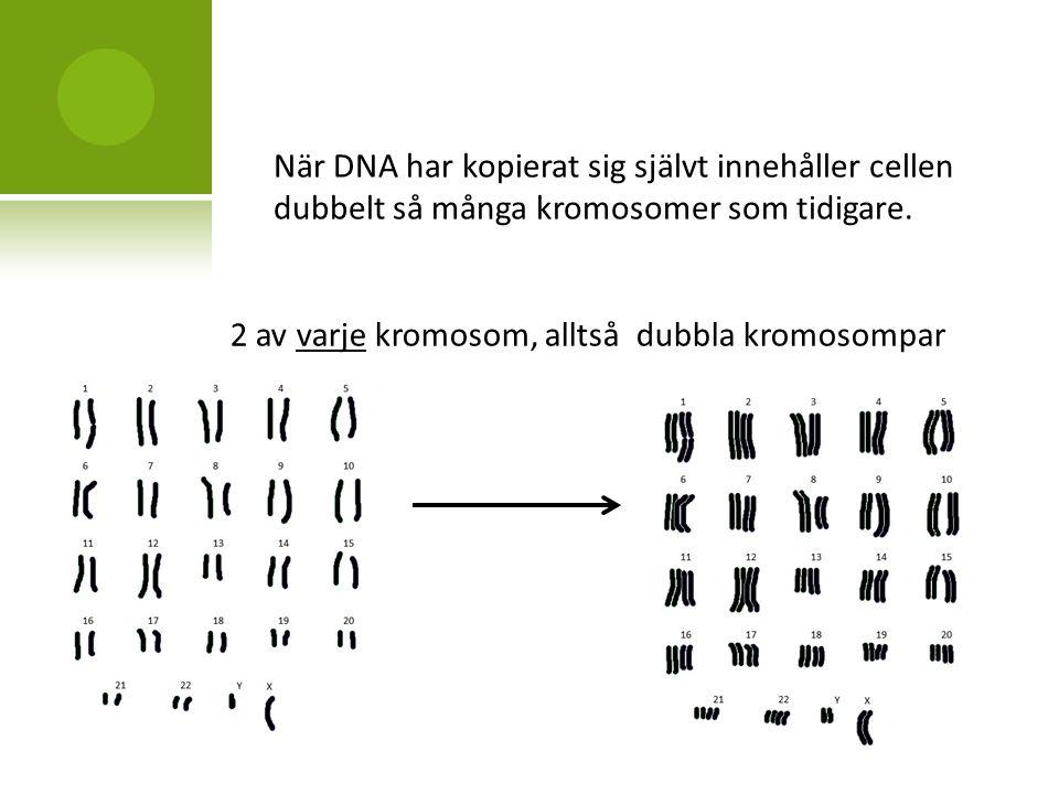 När DNA har kopierat sig självt innehåller cellen dubbelt så många kromosomer som tidigare.