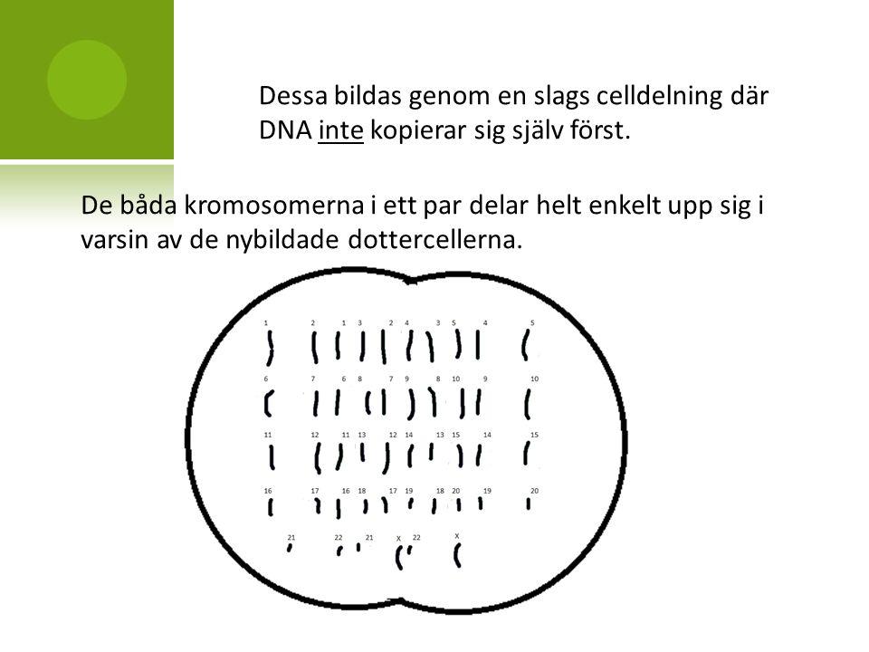 Dessa bildas genom en slags celldelning där DNA inte kopierar sig själv först.