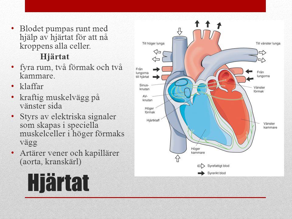 Hjärtat Blodet pumpas runt med hjälp av hjärtat för att nå kroppens alla celler. Hjärtat fyra rum, två förmak och två kammare. klaffar kraftig muskelv