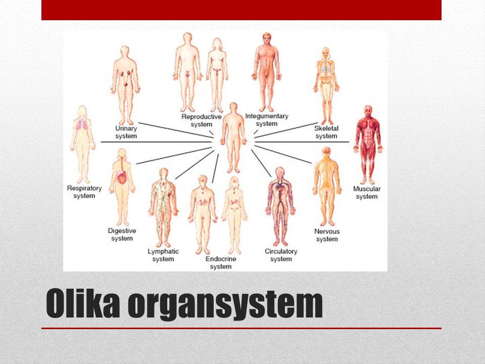 Cirkulationssystemet består av hjärta, blodkärl och blodet som samverkar.