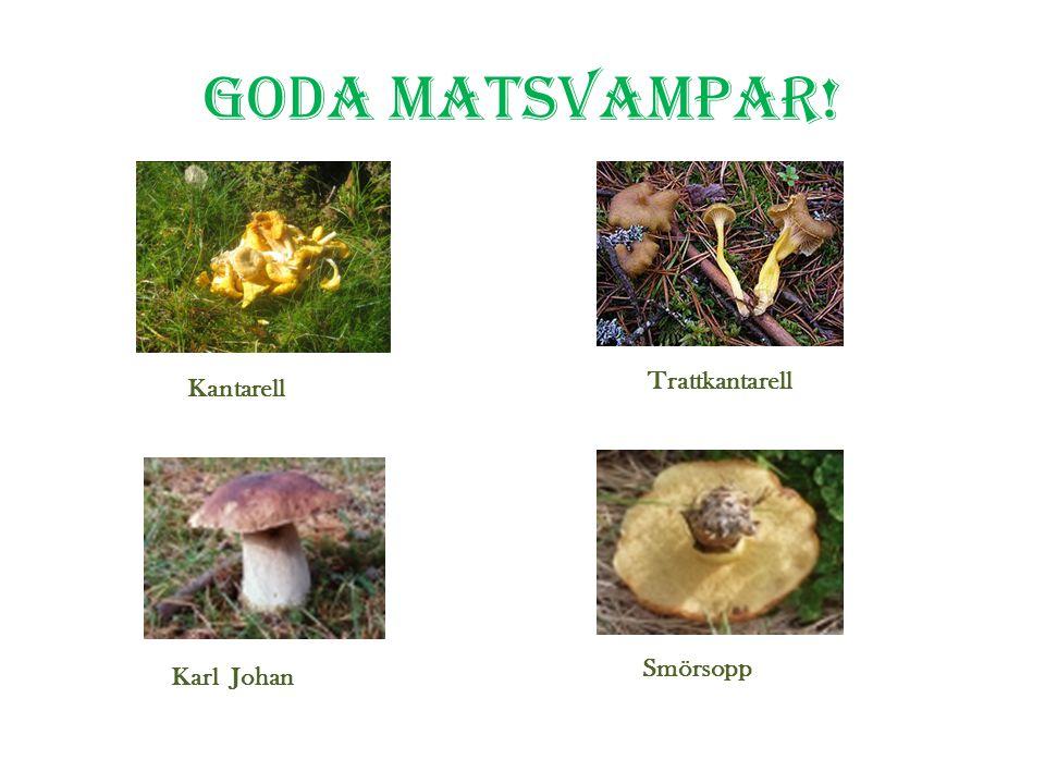 Några grupper av svampar Skivlingar Rörsvampar Taggsvampar Buksvampar Disksvampar