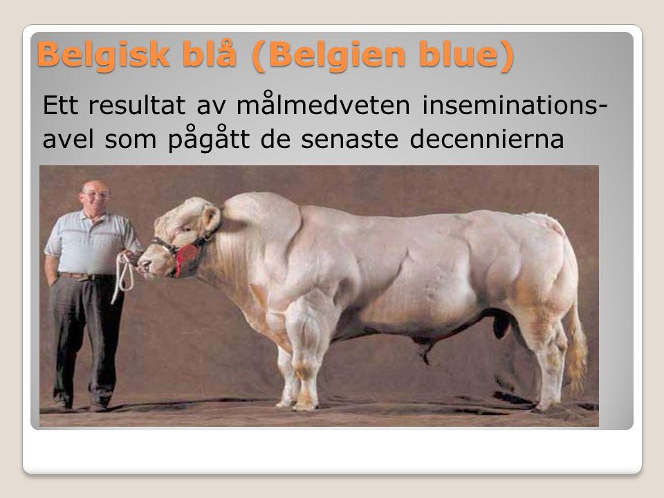 Belgisk blå (Belgien blue) Ett resultat av målmedveten inseminations- avel som pågått de senaste decennierna