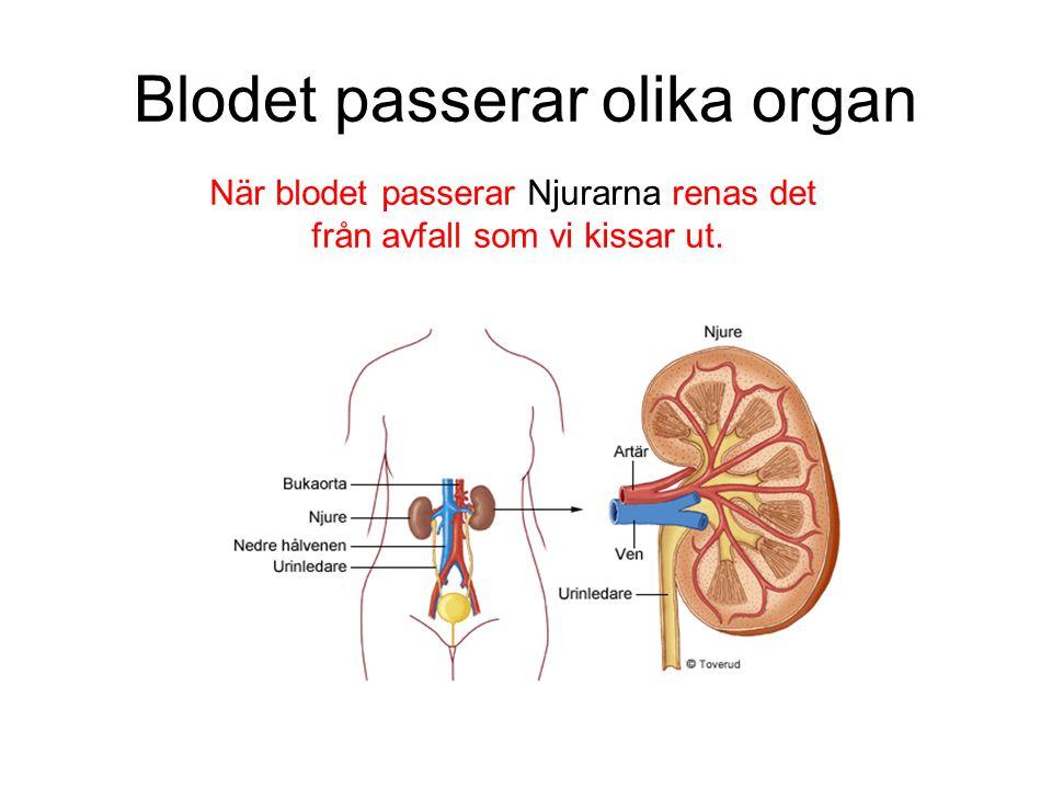 Blodet passerar olika organ När blodet passerar Njurarna renas det från avfall som vi kissar ut.