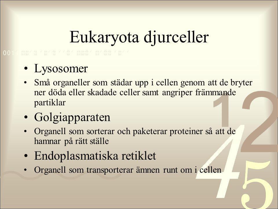 Eukaryota djurceller •Lysosomer •Små organeller som städar upp i cellen genom att de bryter ner döda eller skadade celler samt angriper främmande part
