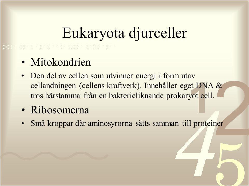 Eukaryota djurceller •Mitokondrien •Den del av cellen som utvinner energi i form utav cellandningen (cellens kraftverk). Innehåller eget DNA & tros hä