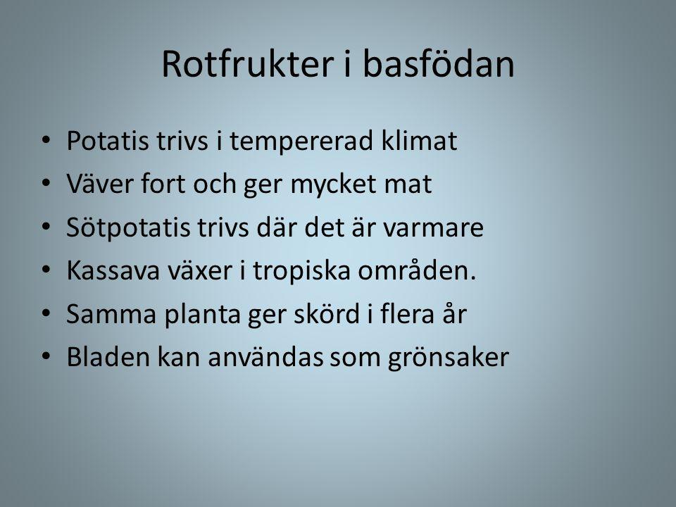 Rotfrukter i basfödan • Potatis trivs i tempererad klimat • Väver fort och ger mycket mat • Sötpotatis trivs där det är varmare • Kassava växer i trop