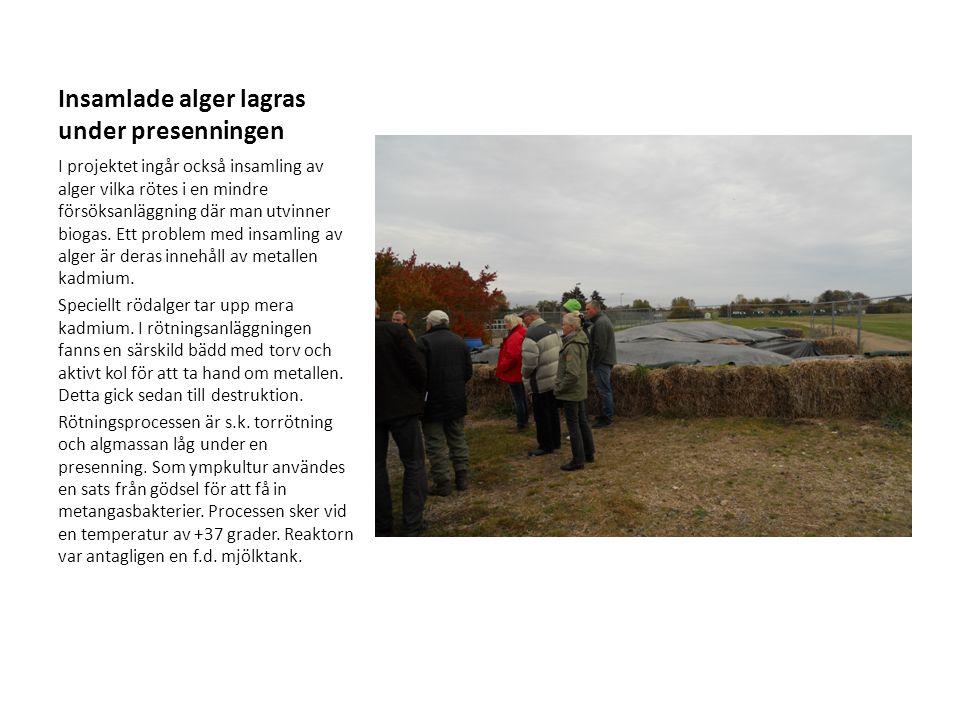 Insamlade alger lagras under presenningen I projektet ingår också insamling av alger vilka rötes i en mindre försöksanläggning där man utvinner biogas