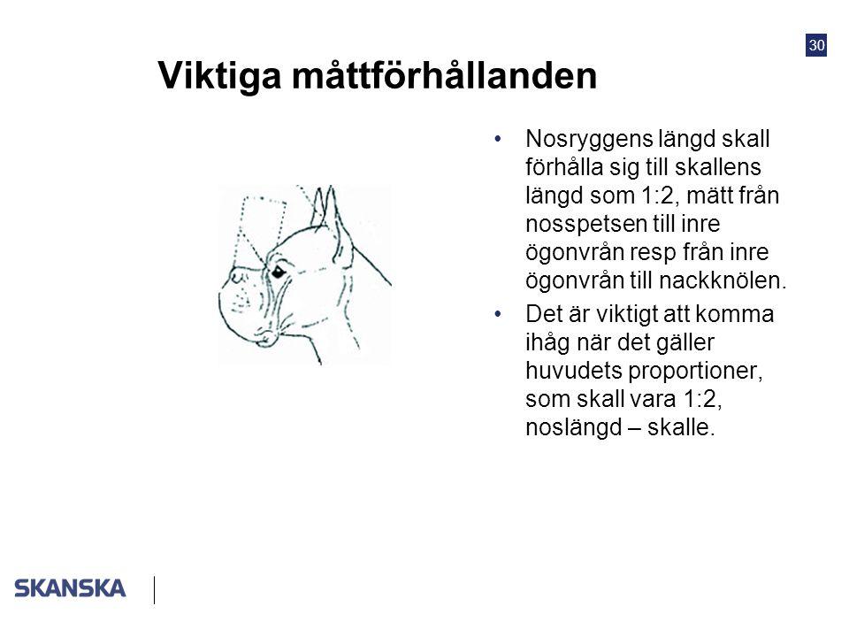 30 Viktiga måttförhållanden •Nosryggens längd skall förhålla sig till skallens längd som 1:2, mätt från nosspetsen till inre ögonvrån resp från inre ö