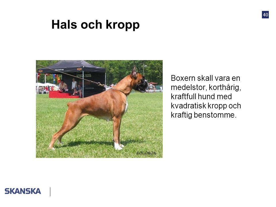 40 Hals och kropp •Boxern skall vara en medelstor, korthårig, kraftfull hund med kvadratisk kropp och kraftig benstomme.