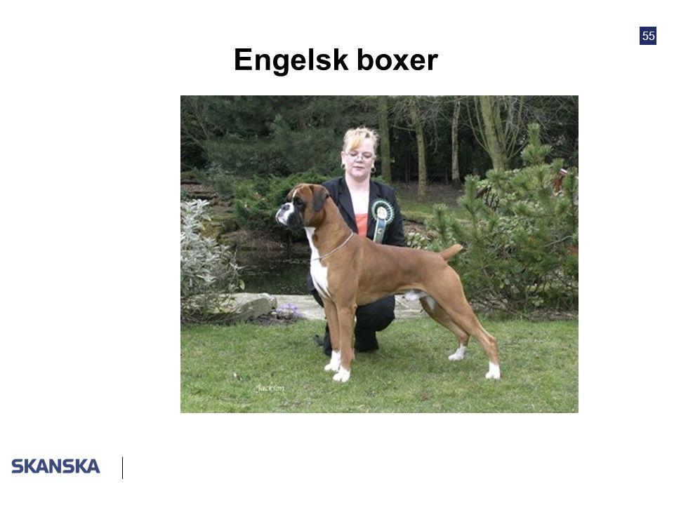 55 Engelsk boxer