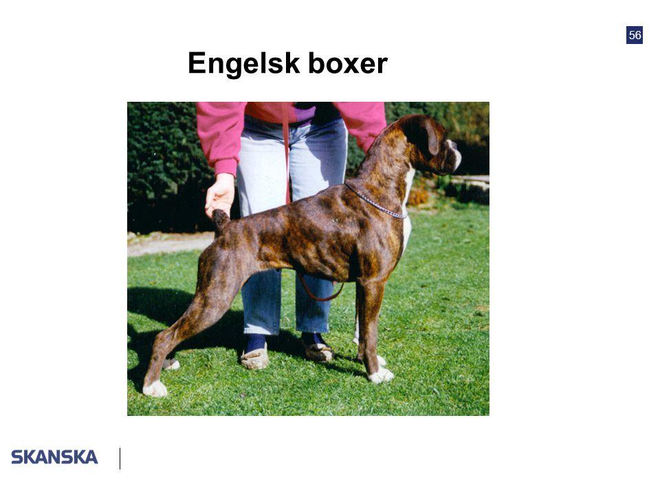 56 Engelsk boxer