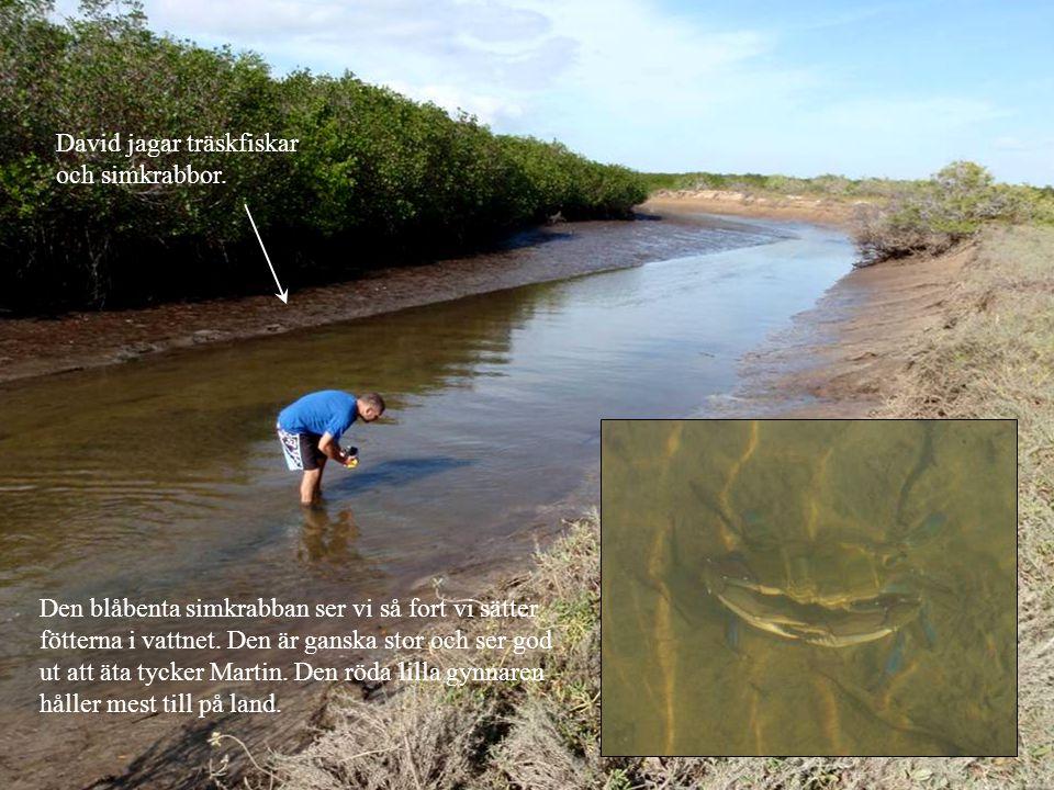 Den blåbenta simkrabban ser vi så fort vi sätter fötterna i vattnet.