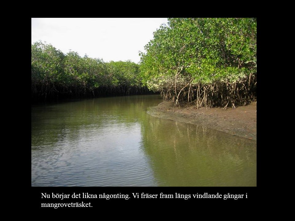 Nu börjar det likna någonting. Vi fräser fram längs vindlande gångar i mangroveträsket.