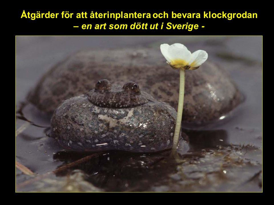 Åtgärder för att återinplantera och bevara klockgrodan – en art som dött ut i Sverige -