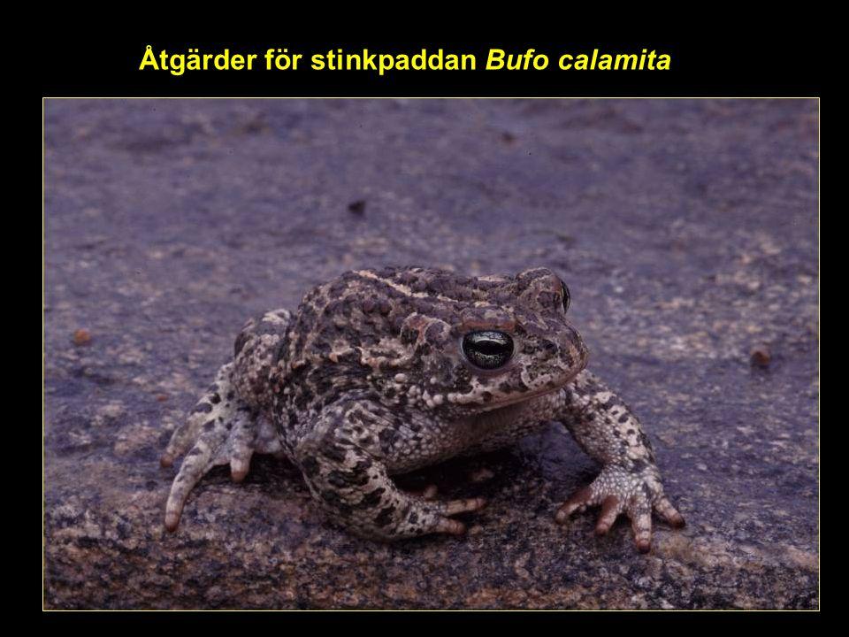 Åtgärder för stinkpaddan Bufo calamita