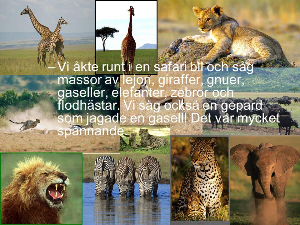–Vi åkte runt i en safari bil och såg massor av lejon, giraffer, gnuer, gaseller, elefanter, zebror och flodhästar. Vi såg också en gepard som jagade