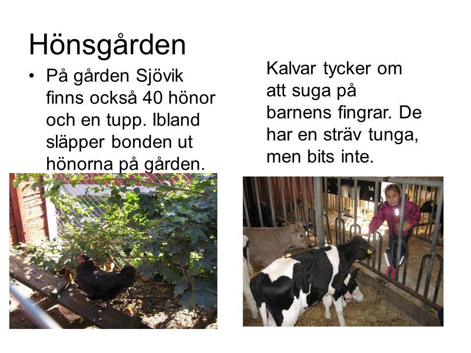 Hönsgården •På gården Sjövik finns också 40 hönor och en tupp. Ibland släpper bonden ut hönorna på gården. Kalvar tycker om att suga på barnens fingra