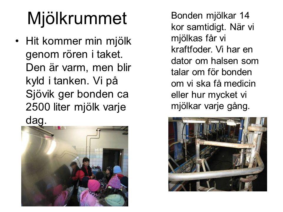 Mjölkrummet •Hit kommer min mjölk genom rören i taket. Den är varm, men blir kyld i tanken. Vi på Sjövik ger bonden ca 2500 liter mjölk varje dag. Bon