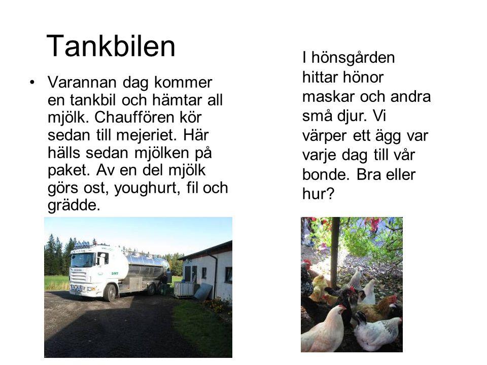 Tankbilen •Varannan dag kommer en tankbil och hämtar all mjölk. Chauffören kör sedan till mejeriet. Här hälls sedan mjölken på paket. Av en del mjölk