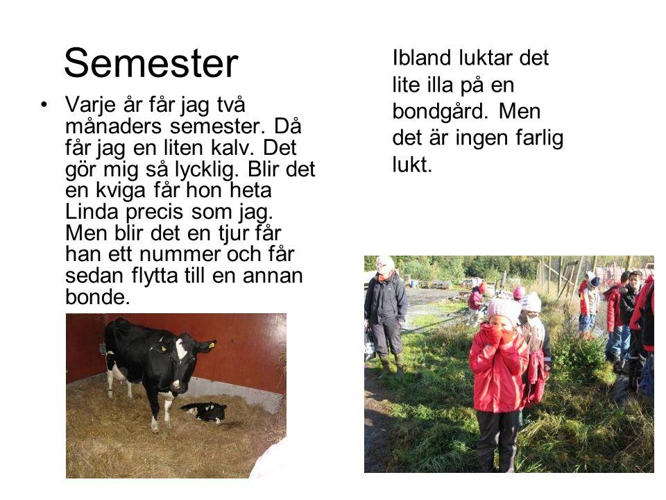 Semester •Varje år får jag två månaders semester. Då får jag en liten kalv. Det gör mig så lycklig. Blir det en kviga får hon heta Linda precis som ja